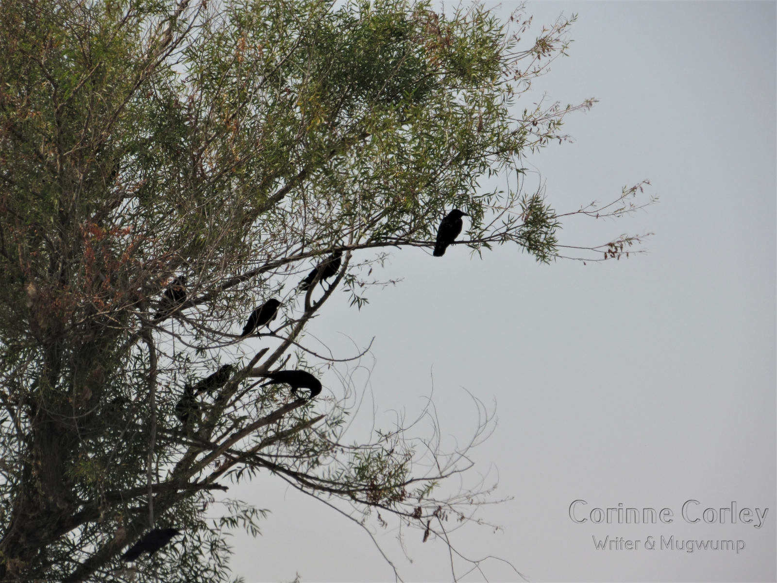 Crows-on-Jackson-Slough