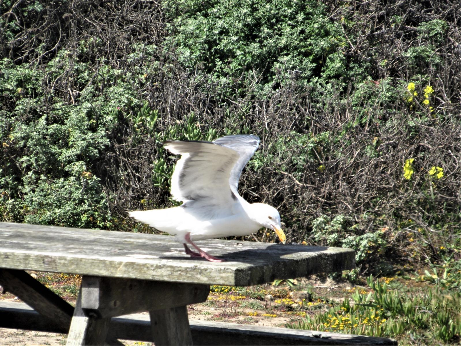 Gull-at-take-off
