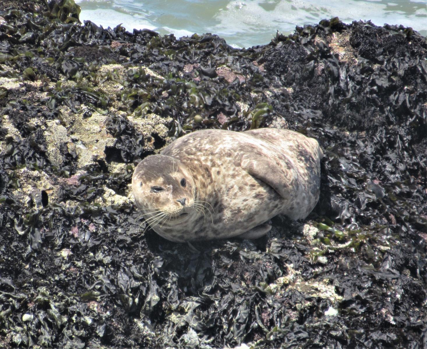 Harbor-seal-2