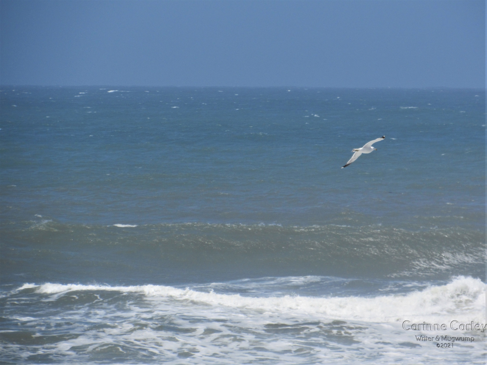 solitary-gull