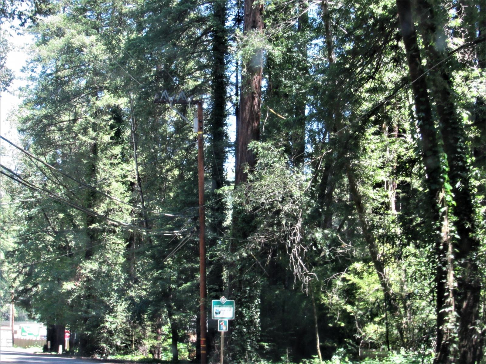 Among-the-redwoods