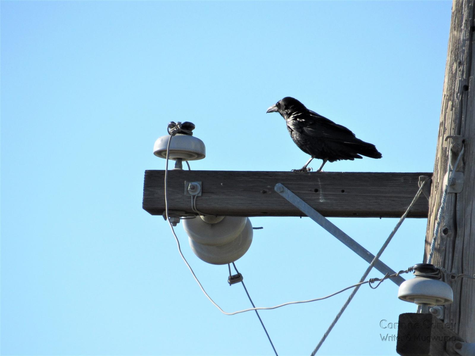 Brannan-Island-Blackbird