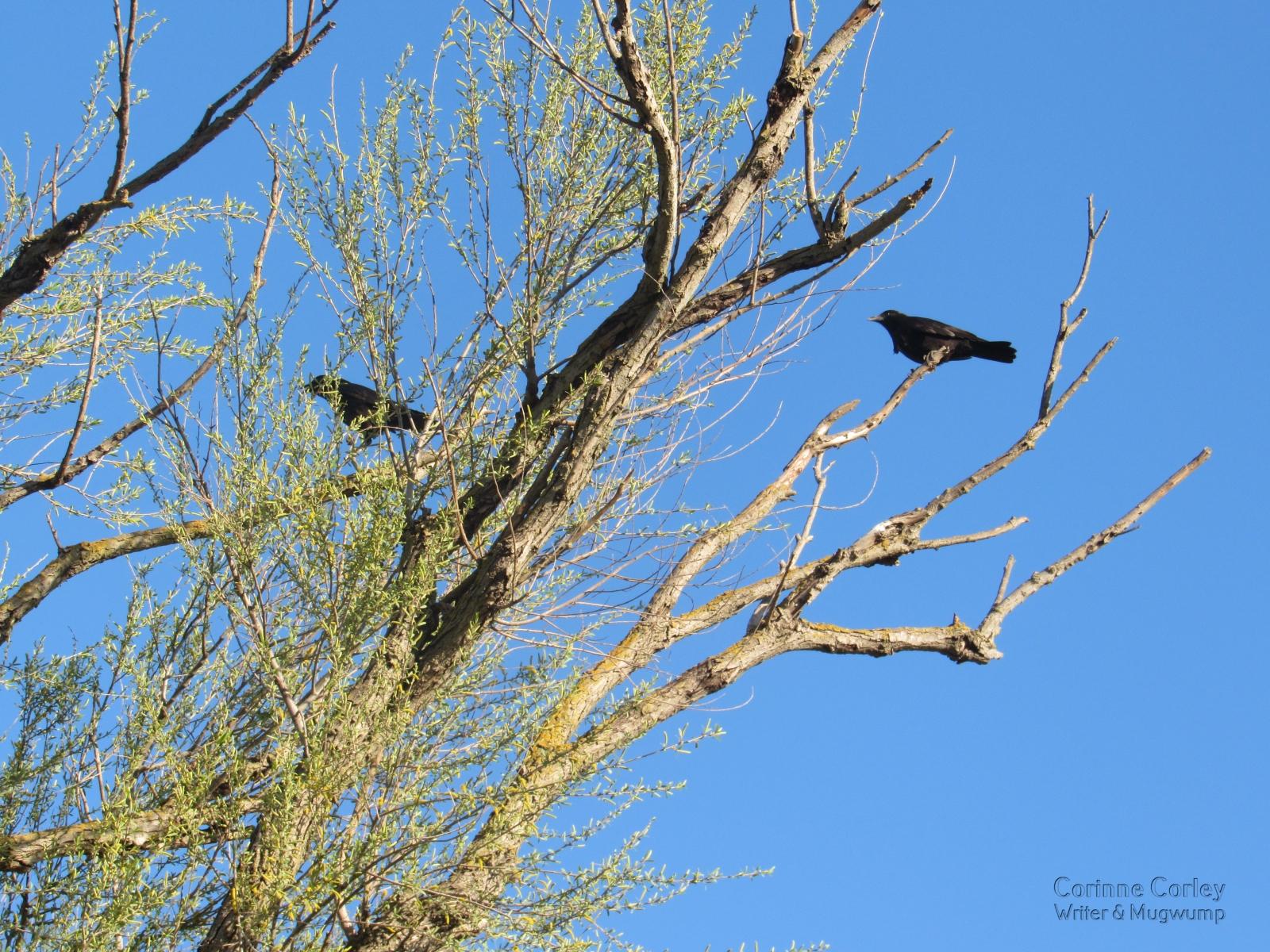Crow-against-the-sky