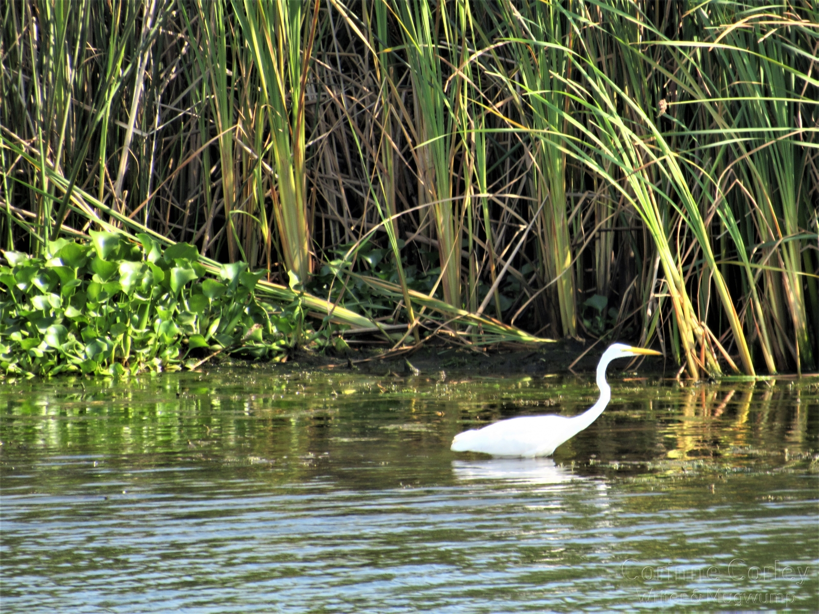 Lone-egret-in-the-river