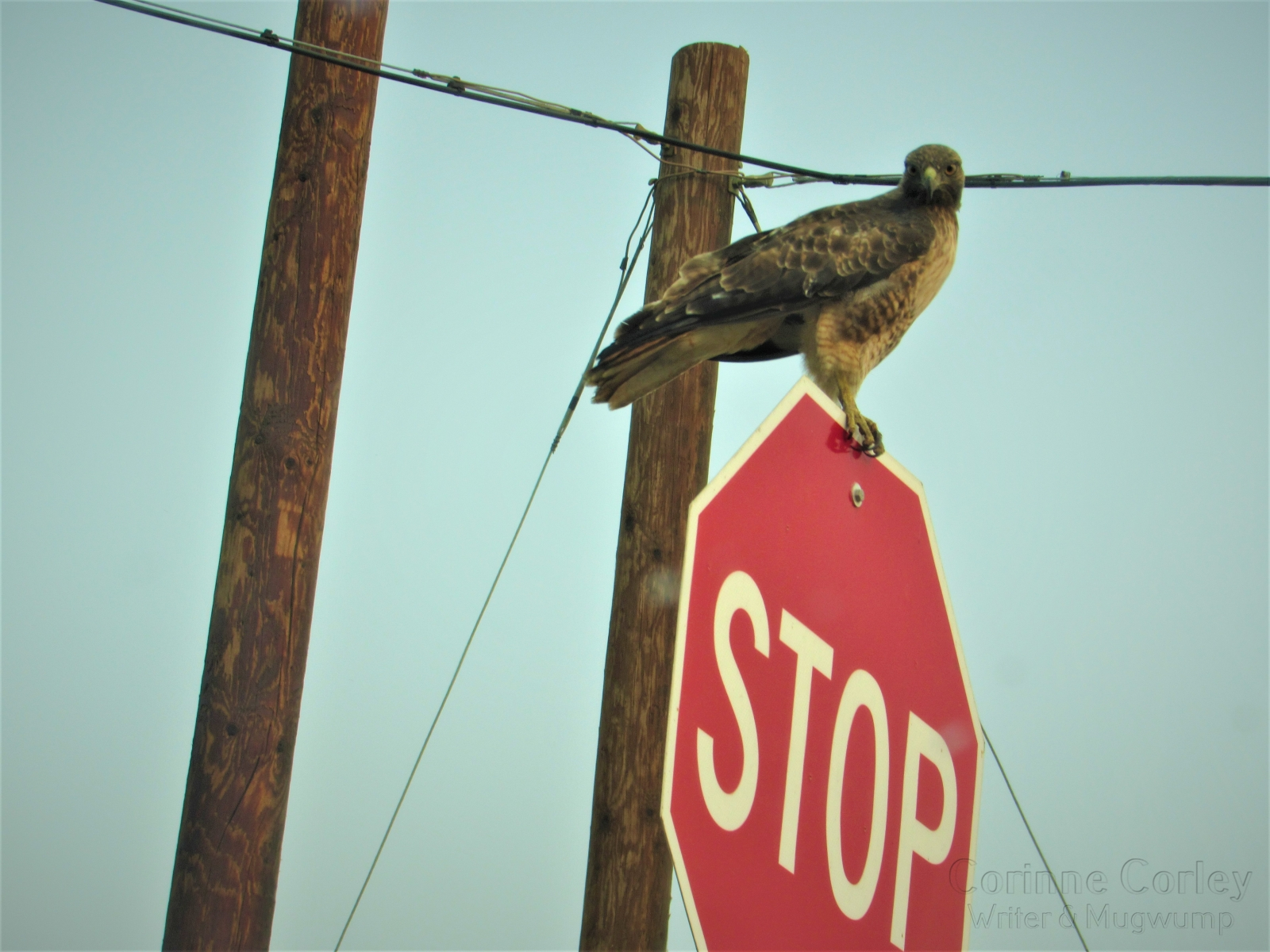 Redtail-on-the-Stop-Sign