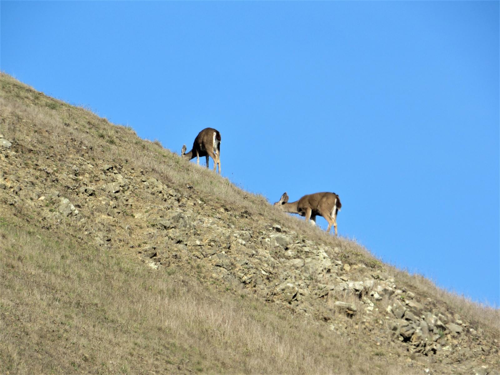 Goats-at-Goat-Rock